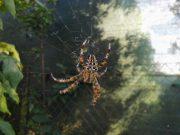 prekmurje-pajek