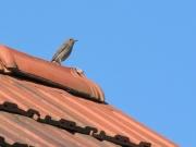 prekmurje_zivali_pticek