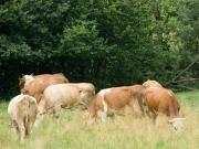 prekmurje_zivali_krave